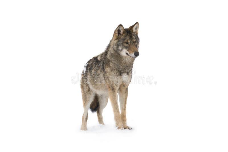 Γκρίζος λύκος στοκ φωτογραφίες