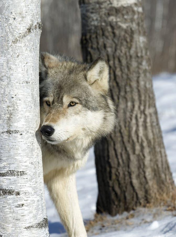 γκρίζος λύκος στοκ φωτογραφία με δικαίωμα ελεύθερης χρήσης