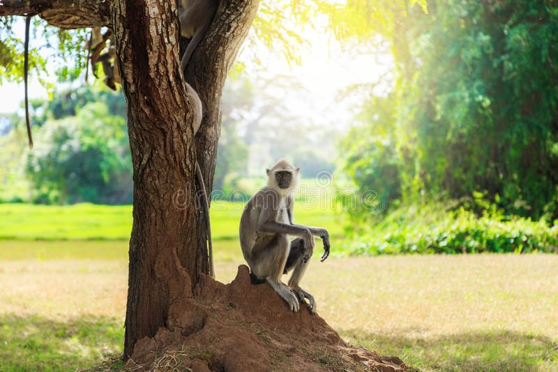 Γκρίζος πίθηκος στη συνεδρίαση ζουγκλών κάτω από ένα δέντρο στοκ φωτογραφία
