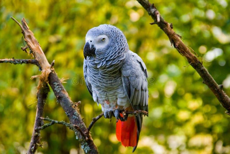 γκρίζος παπαγάλος στοκ φωτογραφία