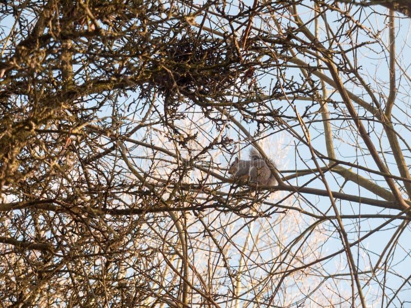 γκρίζος σκίουρος επάνω στην κατανάλωση κλάδων θόλων δέντρων στοκ εικόνες με δικαίωμα ελεύθερης χρήσης