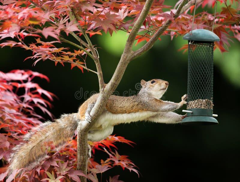 Γκρίζος σκίουρος που τρώει από έναν τροφοδότη πουλιών σε ένα ζωηρόχρωμο ιαπωνικό Μ στοκ εικόνα