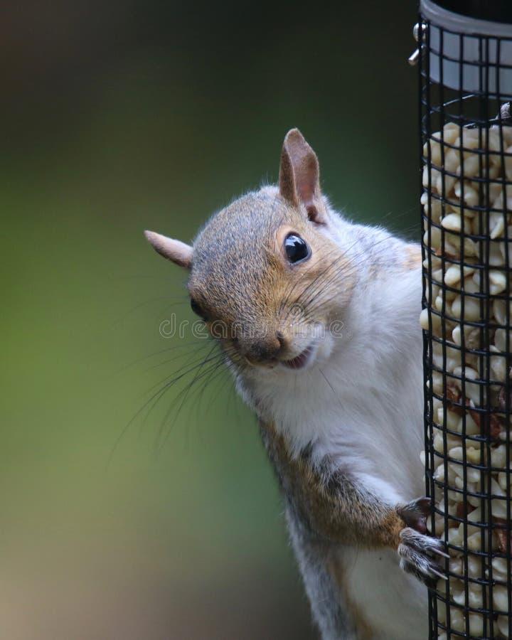 Γκρίζος σκίουρος που τρώει από έναν τροφοδότη πουλιών στοκ εικόνες με δικαίωμα ελεύθερης χρήσης