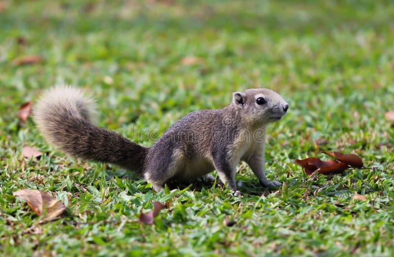 γκρίζος σκίουρος στοκ φωτογραφία