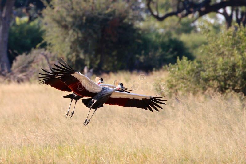 Γκρίζος στεμμένος γερανός Ζιμπάμπουε, εθνικό πάρκο Hwange στοκ εικόνες