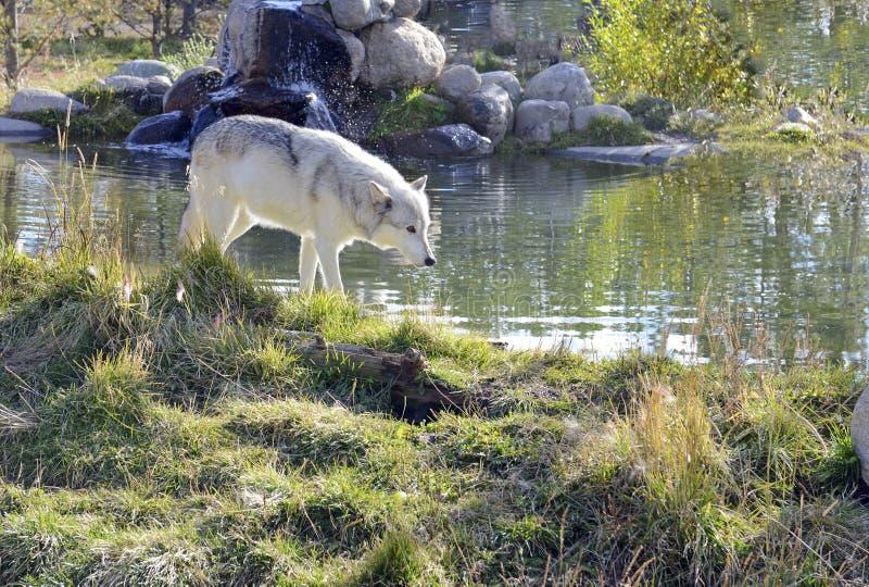 Γκρίζος λύκος στοκ εικόνα