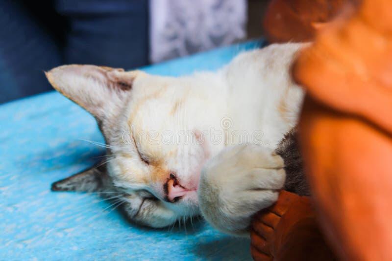 Γκρίζος ύπνος γατών υπαίθριος ξύλινο σε έναν κυανό πάγκων Επιλέξτε την εστίαση στοκ εικόνα με δικαίωμα ελεύθερης χρήσης