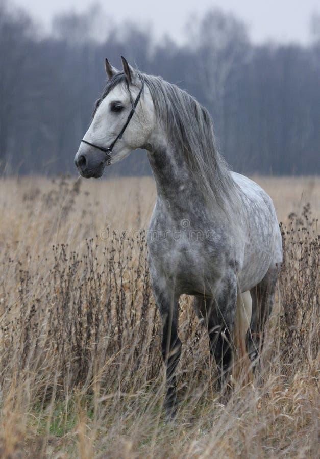 γκρίζο άλογο πεδίων στοκ εικόνα με δικαίωμα ελεύθερης χρήσης