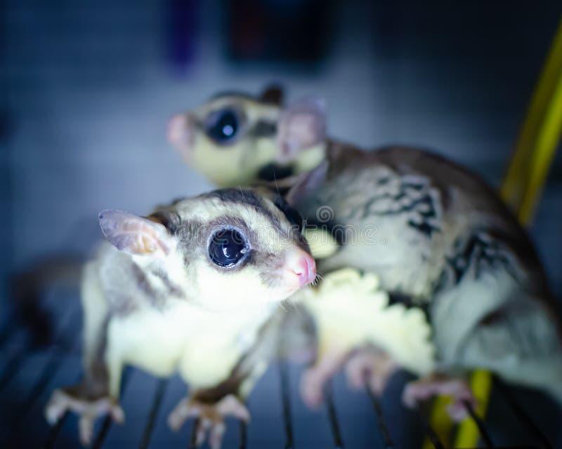 Γκρίζο ανεμοπλάνο ζάχαρης Possum ολίσθησης Petaurus breviceps δενδρικό Εξωτικά ζώα στο ανθρώπινο περιβάλλον στοκ εικόνα