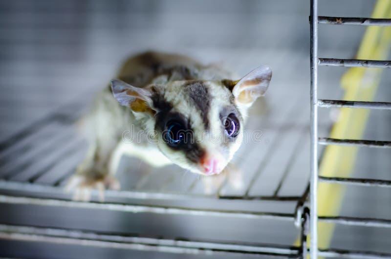 Γκρίζο ανεμοπλάνο ζάχαρης Possum ολίσθησης Petaurus breviceps δενδρικό Εξωτικά ζώα στο ανθρώπινο περιβάλλον στοκ φωτογραφίες με δικαίωμα ελεύθερης χρήσης