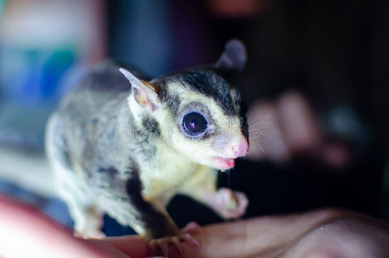 Γκρίζο ανεμοπλάνο ζάχαρης Possum ολίσθησης Petaurus breviceps δενδρικό Εξωτικά ζώα στο ανθρώπινο περιβάλλον στοκ εικόνα με δικαίωμα ελεύθερης χρήσης