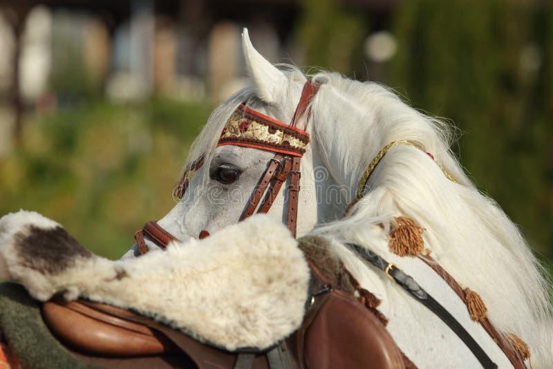 Γκρίζο αραβικό άλογο με το παραδοσιακές καρφί και τη σέλα στοκ εικόνα με δικαίωμα ελεύθερης χρήσης