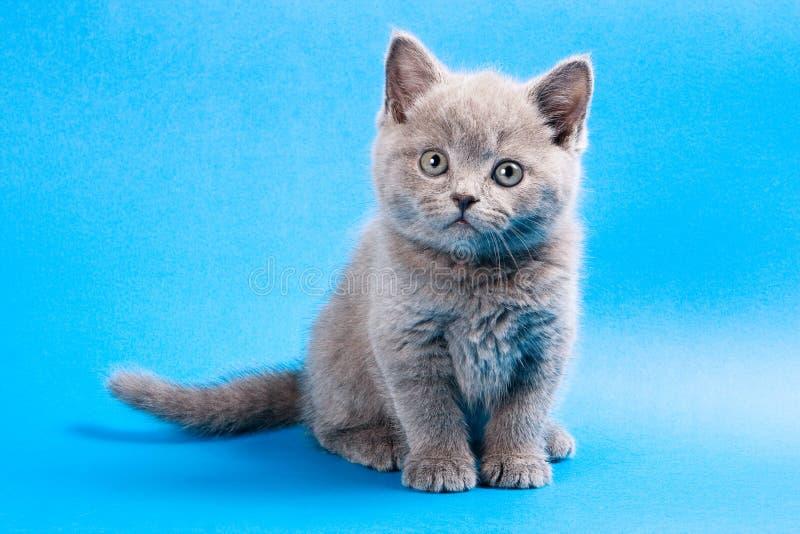 Γκρίζο βρετανικό γατάκι σε ένα μπλε στοκ φωτογραφία με δικαίωμα ελεύθερης χρήσης