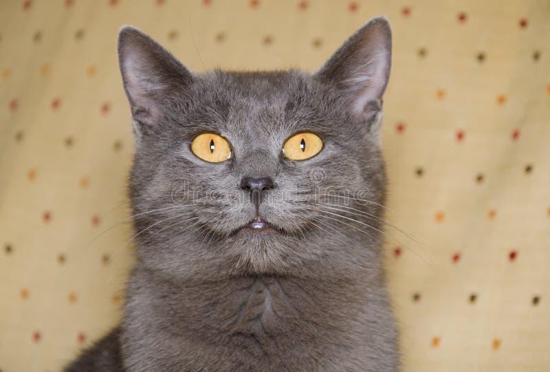 Γκρίζο γατάκι με τα μεγάλα κίτρινα μάτια στοκ φωτογραφία