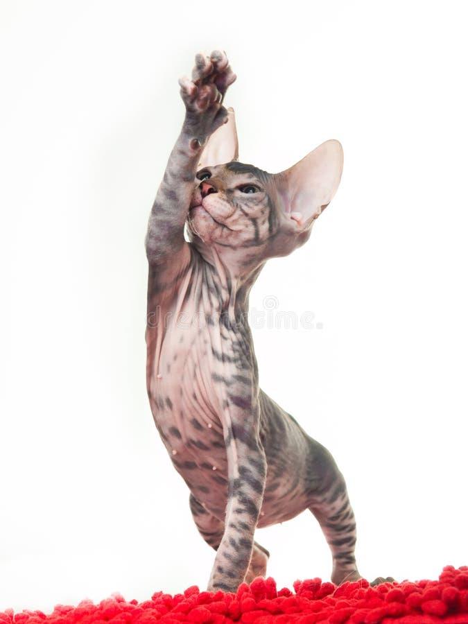 γκρίζο γατάκι ταπήτων που &pi στοκ εικόνες με δικαίωμα ελεύθερης χρήσης