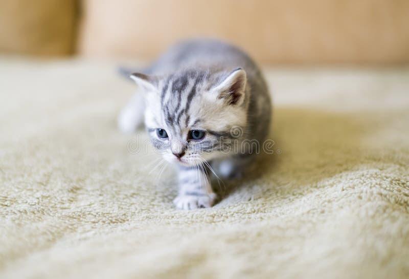Γκρίζο γατάκι της φυλής σκωτσέζικα στον καναπέ στοκ φωτογραφίες με δικαίωμα ελεύθερης χρήσης
