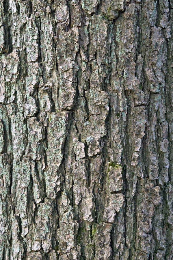 Γκρίζο δρύινο υπόβαθρο φλοιών στοκ φωτογραφία με δικαίωμα ελεύθερης χρήσης