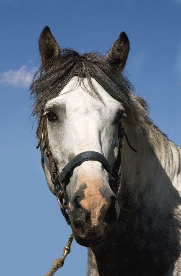 γκρίζο επικεφαλής άλογ&omi Στοκ Εικόνες
