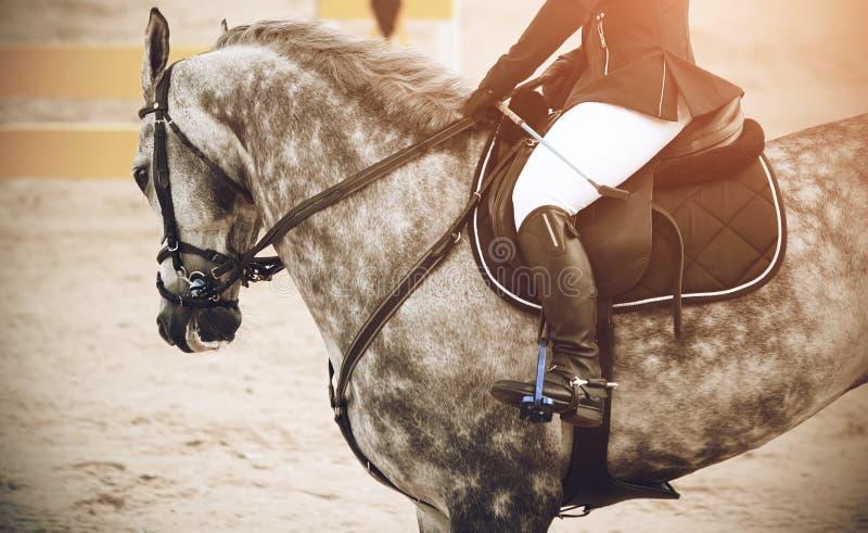 Γκρίζο επισημασμένο άλογο που συμμετέχει στη διαδρομή στους πηδώντας ανταγωνισμούς στοκ εικόνες