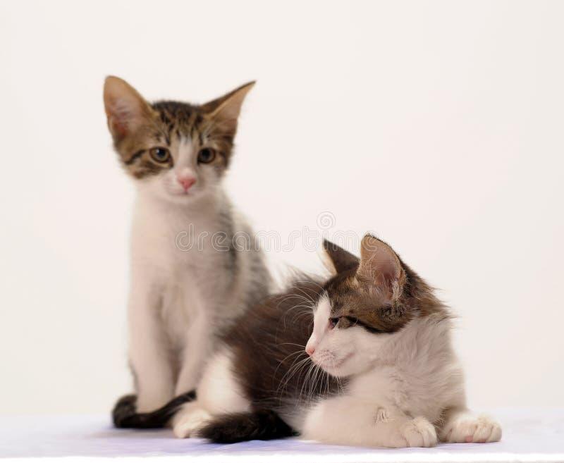 Γκρίζο και άσπρο γατάκι δύο στοκ εικόνα