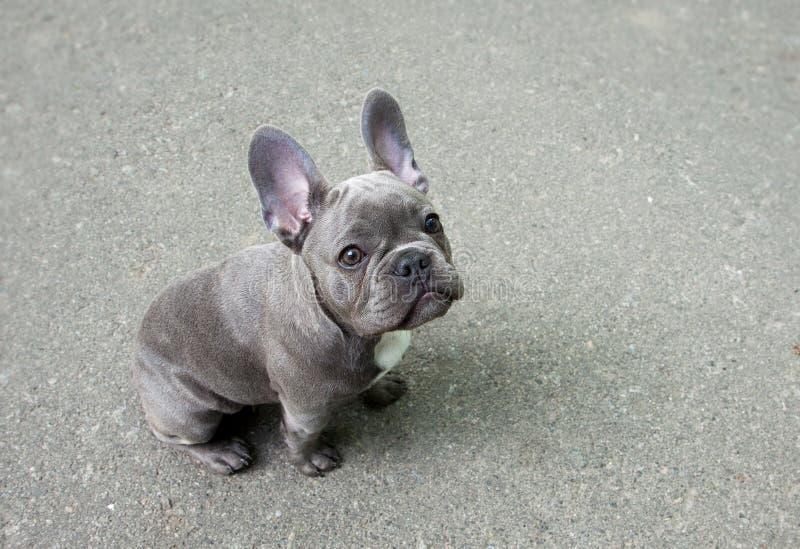 Γκρίζο κουτάβι ενός γαλλικού μπουλντόγκ σε ένα γκρίζο υπόβαθρο Χαριτωμένο μικρό σκυλί μωρών στοκ εικόνες