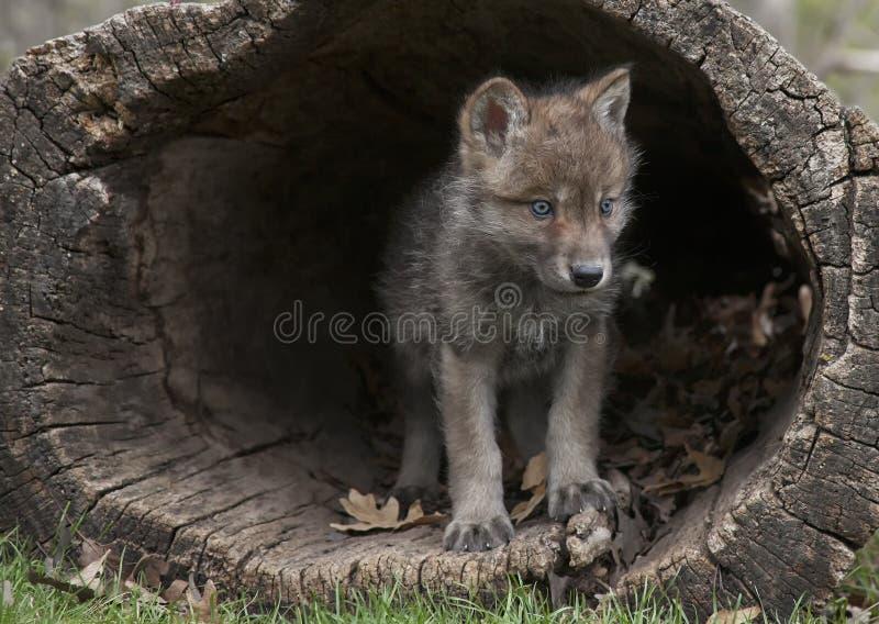 Γκρίζο κουτάβι λύκων στοκ φωτογραφία με δικαίωμα ελεύθερης χρήσης