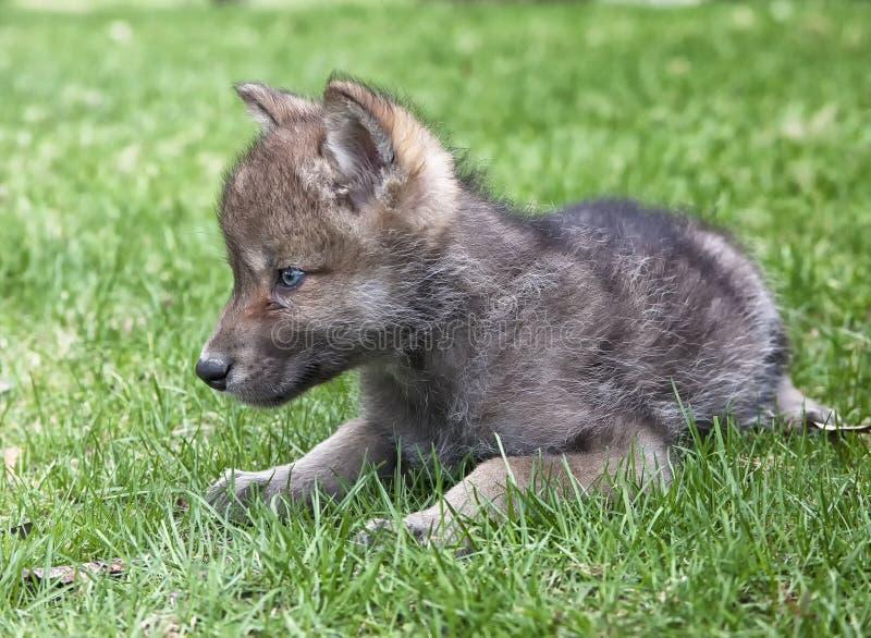 Γκρίζο κουτάβι λύκων στοκ φωτογραφίες με δικαίωμα ελεύθερης χρήσης