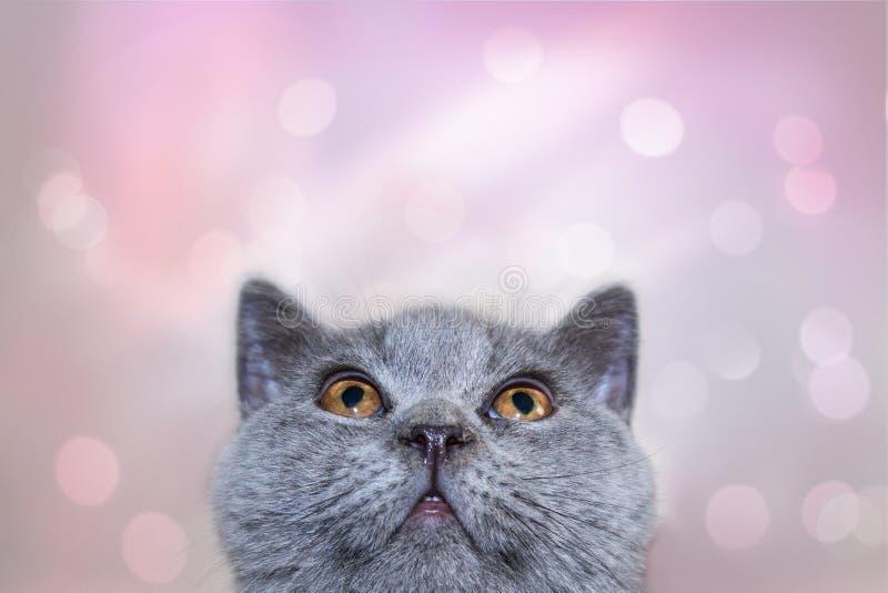 Γκρίζο μπλε χρώμα γατακιών πορτρέτου αστείο βρετανικό αρσενικό που κοιτάζει για να ολοκληρώσει στο ευγενές ρόδινο υπόβαθρο στοκ φωτογραφία με δικαίωμα ελεύθερης χρήσης