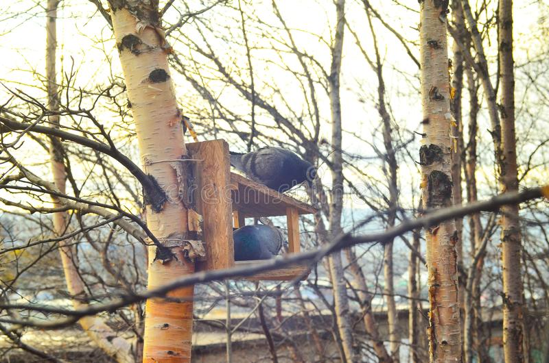 Γκρίζο περιστέρι στο σπίτι Περιστέρι o Χειμώνας r Δάσος στοκ εικόνες με δικαίωμα ελεύθερης χρήσης