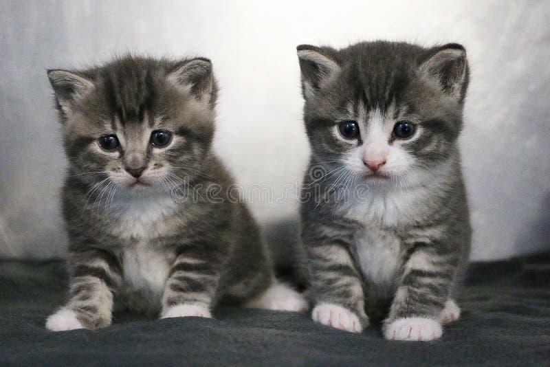 Γκρίζο πορτρέτο γατακιών συνεδρίασης δύο στοκ εικόνες με δικαίωμα ελεύθερης χρήσης