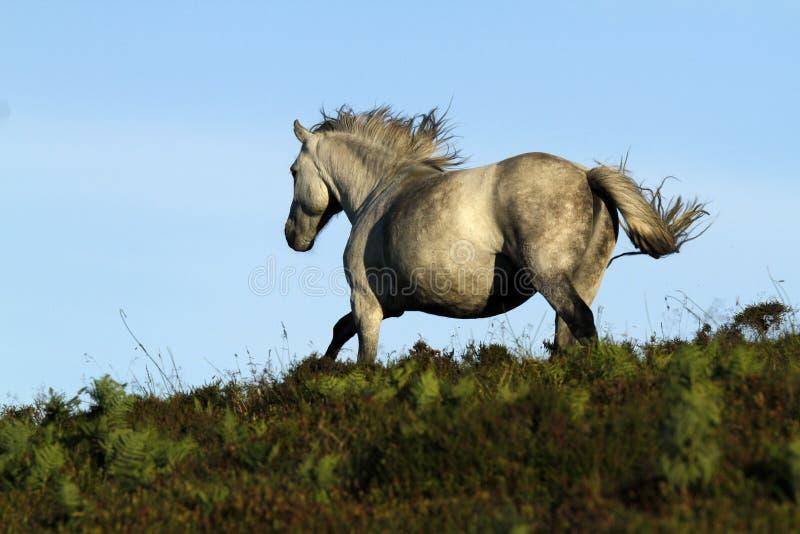 Γκρίζο πόνι Dartmoor στοκ φωτογραφία με δικαίωμα ελεύθερης χρήσης