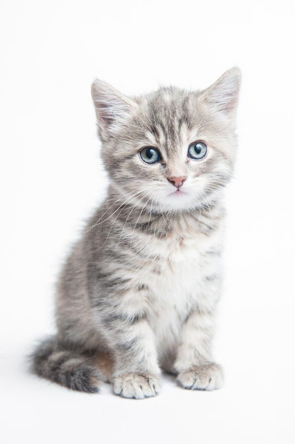 Γκρίζο ριγωτό γατάκι στοκ φωτογραφίες