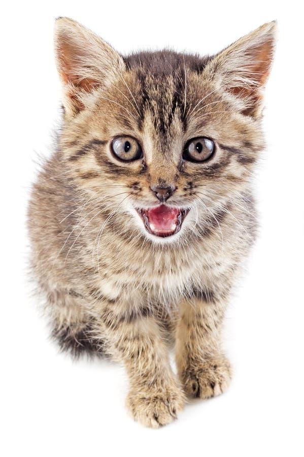 Γκρίζο ριγωτό γατάκι Mewing που απομονώνεται στοκ φωτογραφίες με δικαίωμα ελεύθερης χρήσης