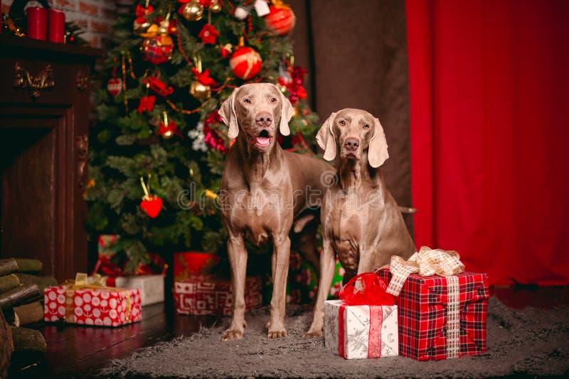 Γκρίζο σκυλί Weimaraner κόμματος δύο στο ney έτος διακοσμήσεων Χριστουγέννων στοκ εικόνες με δικαίωμα ελεύθερης χρήσης