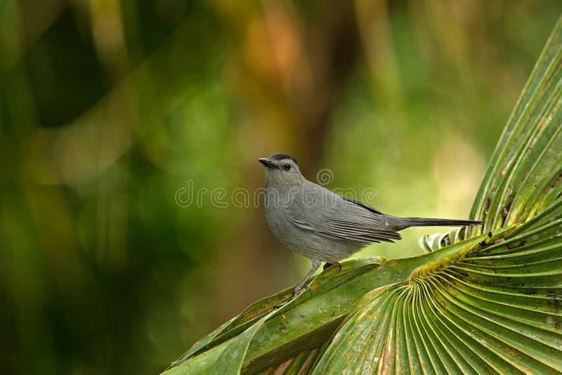 Γκρίζο catbird, carolinensis Dumetella, παρατήρηση πουλιών στην Κεντρική Αμερική δασικό ζώο Σκηνή άγριας φύσης από τη φύση, Μπελί στοκ φωτογραφίες