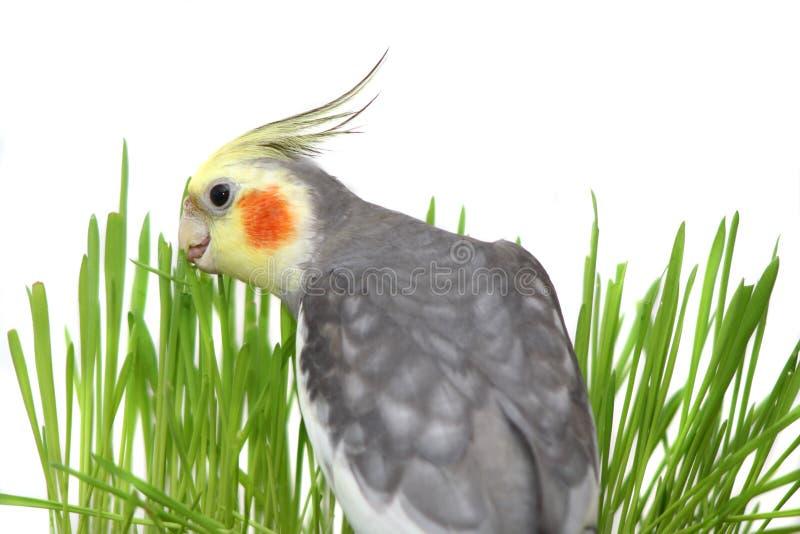 Γκρίζο Cockatiel που απομονώνεται με την πράσινη χλόη στοκ εικόνες