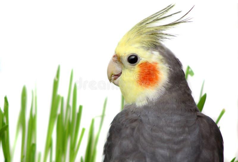 Γκρίζο Cockatiel που απομονώνεται με την πράσινη χλόη στοκ φωτογραφίες
