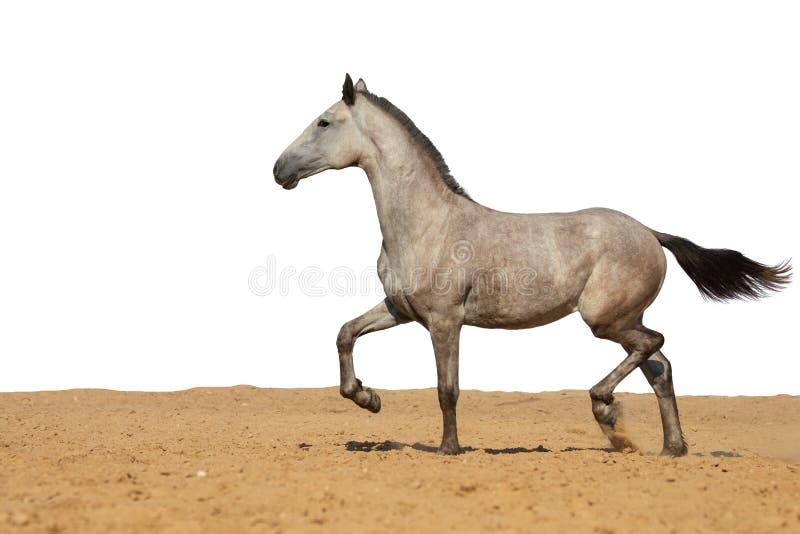 Γκρίζο foal αλόγων που καλπάζει στην άμμο σε ένα άσπρο υπόβαθρο στοκ εικόνα