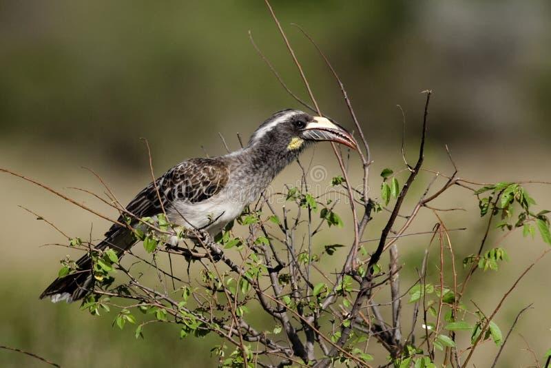 γκρίζο serengeti Τανζανία hornbill στοκ εικόνες