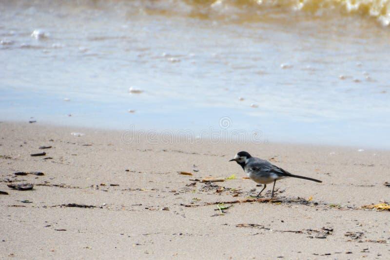 Γκρίζο wagtail στην ακτή στοκ εικόνες με δικαίωμα ελεύθερης χρήσης