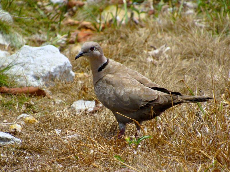 Γκριζωπό πουλί περιστεριών καπνών που στέκεται στην ξηρά χλόη στοκ εικόνα με δικαίωμα ελεύθερης χρήσης