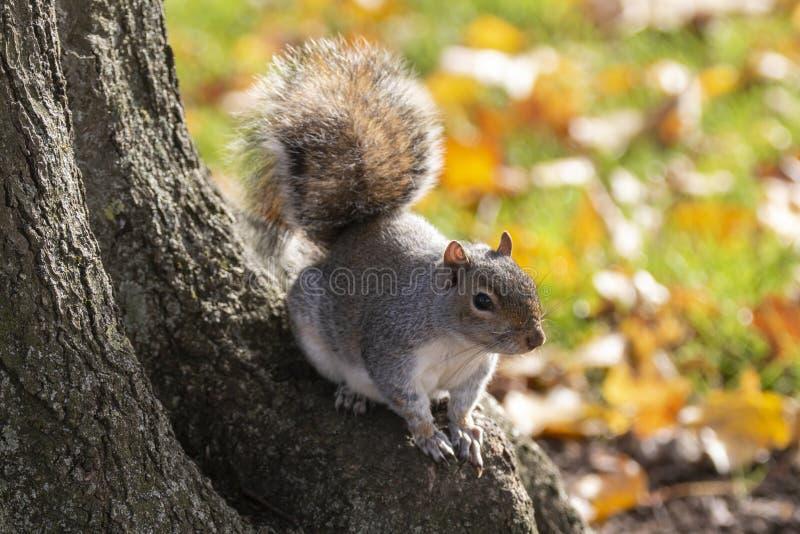 Γκρι σκίουρος στη ρίζα δέντρου στοκ εικόνες