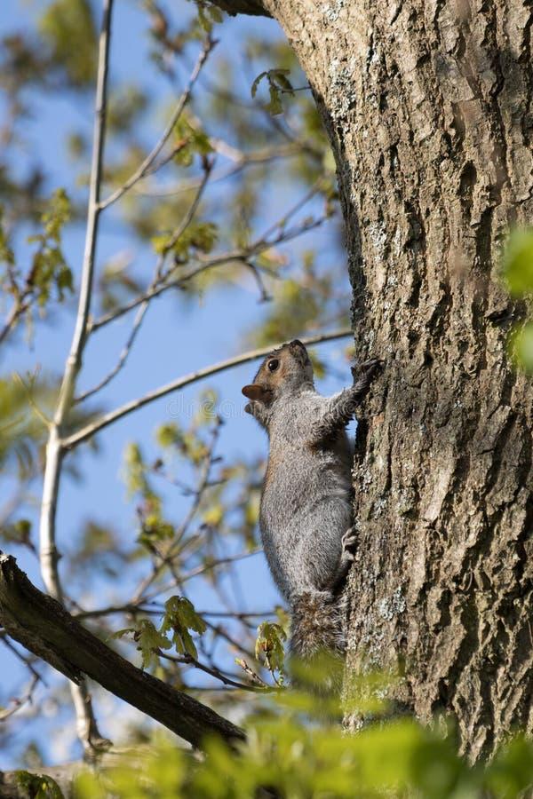 Γκρι σκίουρος Sciurus carolinensis που αναπαύεται σε δέντρο στοκ φωτογραφία