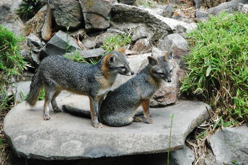 γκρι 2 αλεπούδων στοκ φωτογραφία με δικαίωμα ελεύθερης χρήσης