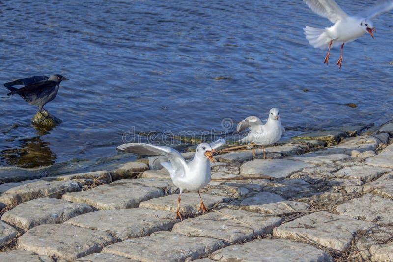 Γλάροι ποταμών ένας από τους με το θήραμα στο στόμα και ένα κοράκι στο λιμένα της λίμνης της Οχρίδας, Μακεδονία στοκ φωτογραφία με δικαίωμα ελεύθερης χρήσης