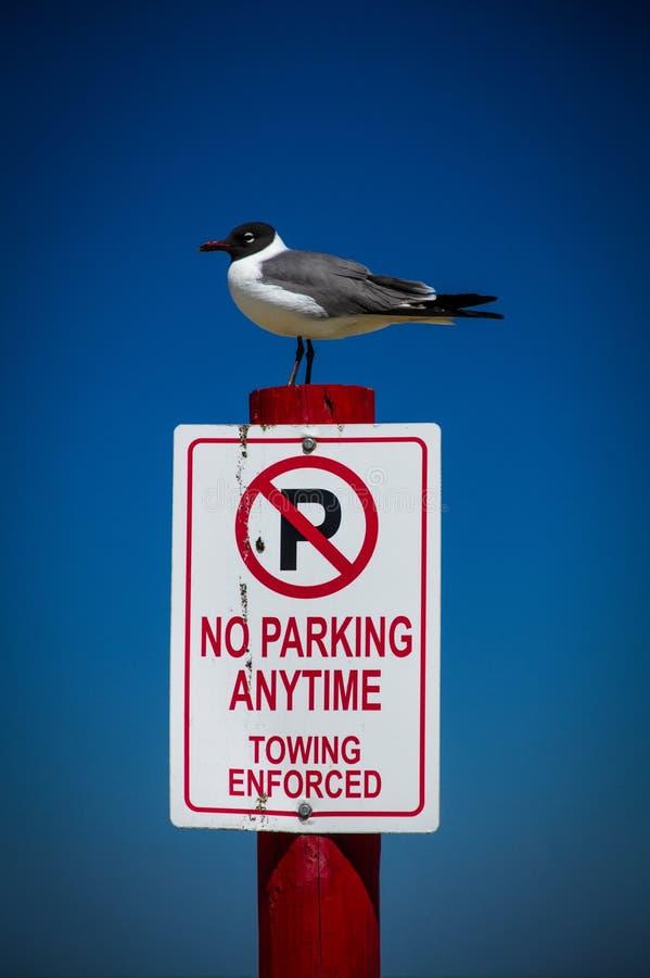 Γλάρος γέλιου που σκαρφαλώνει σε καμία θέση σημαδιών χώρων στάθμευσης στοκ φωτογραφίες με δικαίωμα ελεύθερης χρήσης