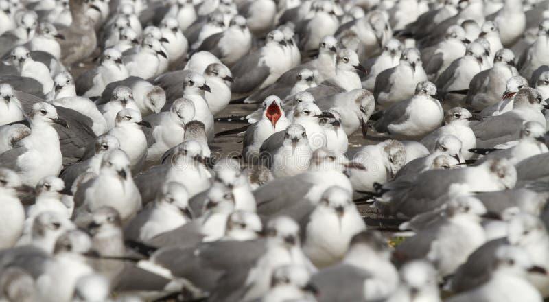 Γλάρος γέλιου σε μια θάλασσα των γλάρων γέλιου στοκ φωτογραφία με δικαίωμα ελεύθερης χρήσης