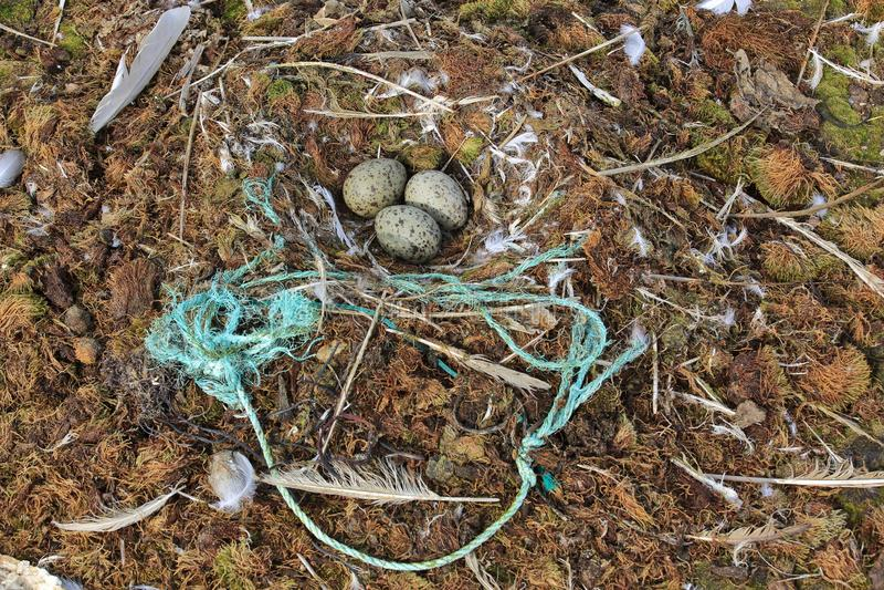 Γλάρος με τα πλαστικά σκουπίδια στο νησί της Αρκτικής στοκ εικόνες με δικαίωμα ελεύθερης χρήσης