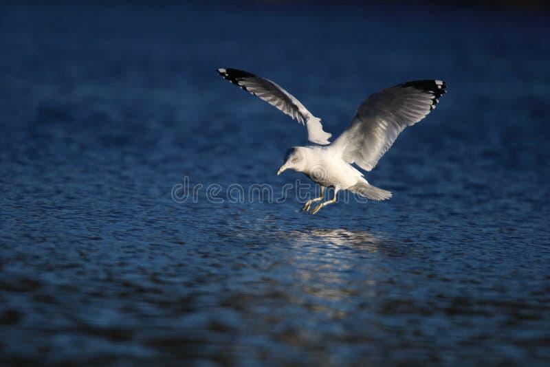 Γλάρος που προσγειώνεται σε μια χειμερινή λίμνη στοκ φωτογραφίες με δικαίωμα ελεύθερης χρήσης