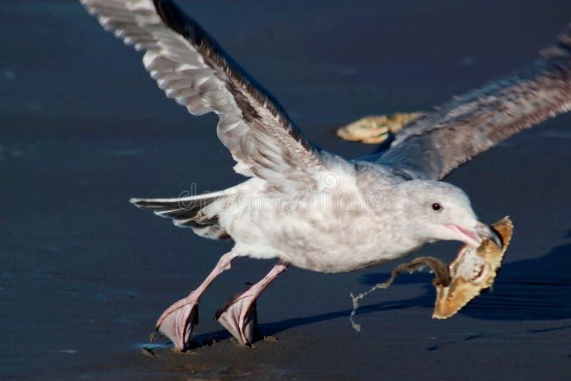 Γλάρος - Seagull για να ανασηκώσει περίπου με τον είναι βραβείο κοχυλιών καβουριών στοκ εικόνες